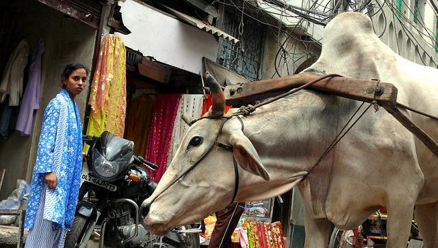 デリーの牛